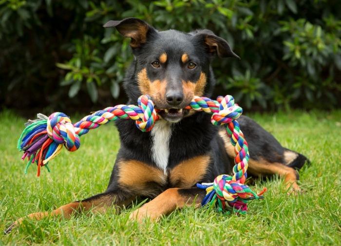 Hond met speeltouw
