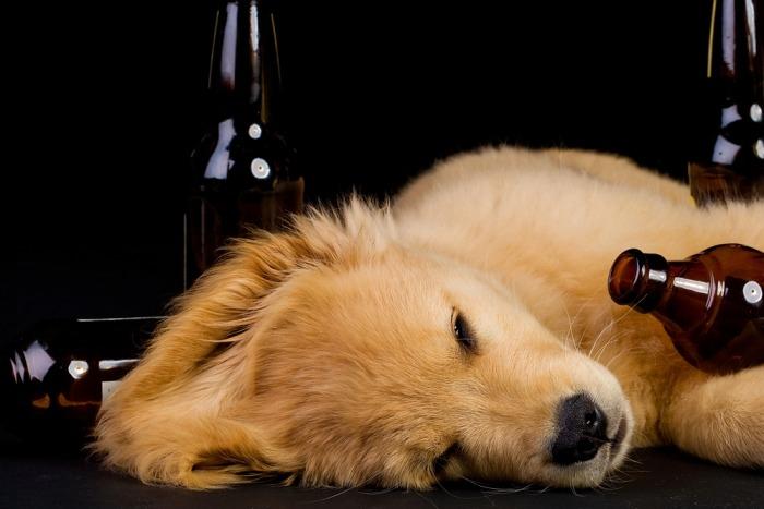 Golden retriever puppy ligt tussen lege bierflesjes