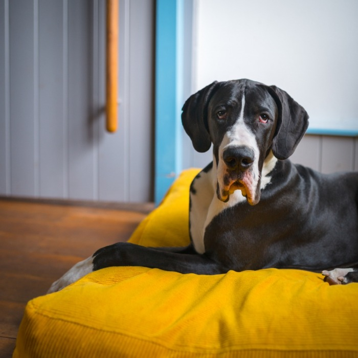 Lees hier alles over de Duitse dog