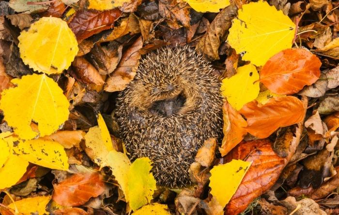 Een egel ligt tussen de herfstbladeren op zijn rug in een winterslaap