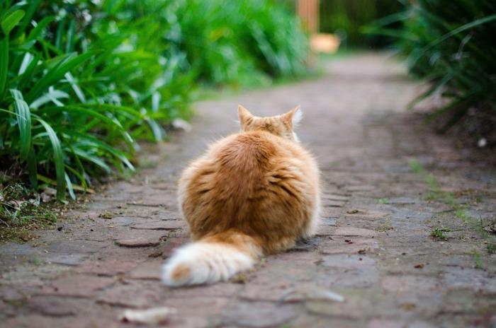 Roskleurige kat buiten