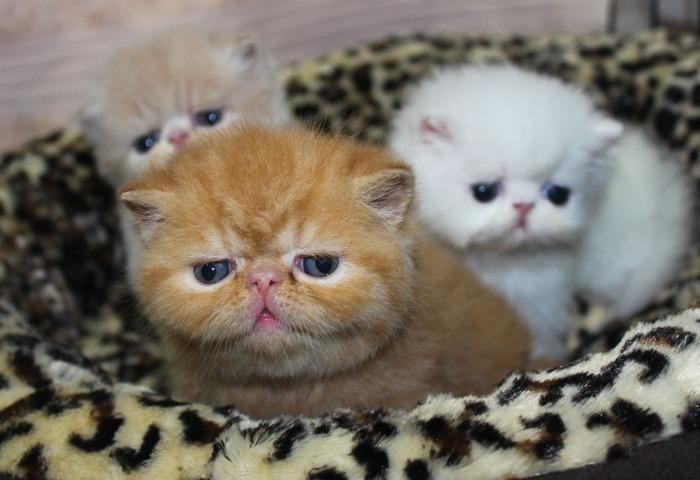 Drie exotic shorthair kittens