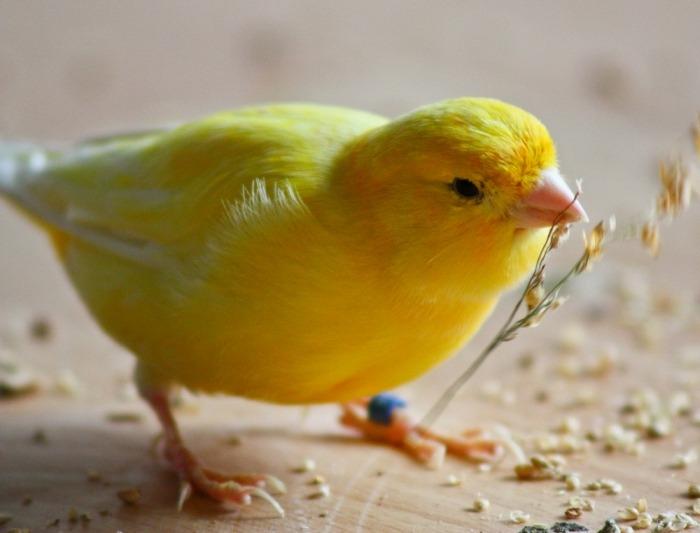 gele kanarie