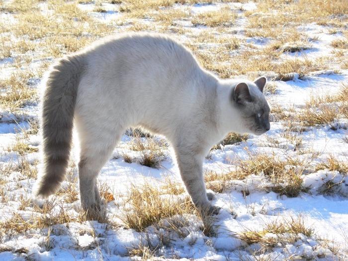 Geschrokken kat met gekromde rug in de sneeuw
