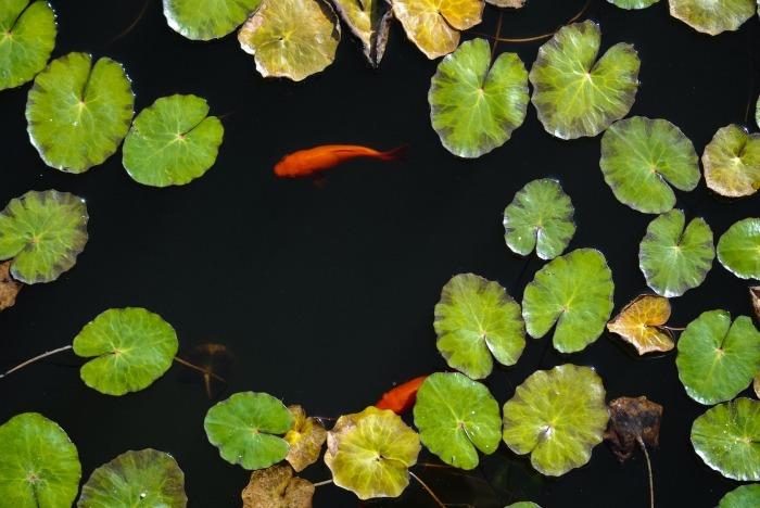 Vijver met waterlelies en goudvissen