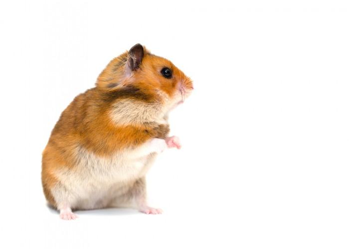 hamster op witte achtergrond