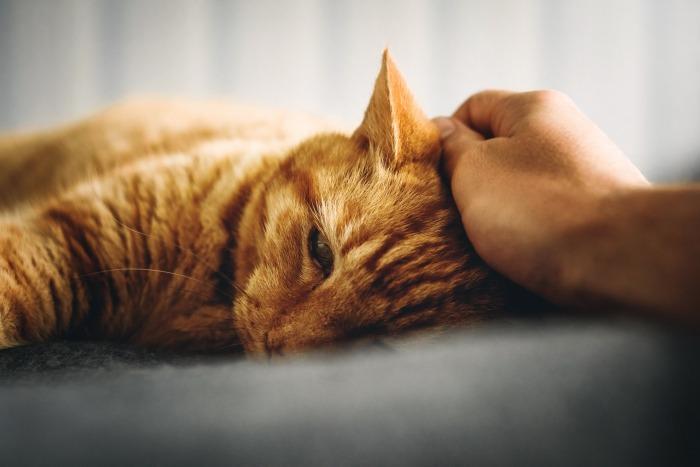 Roskleurige kat wordt geaaid op haar hoofd