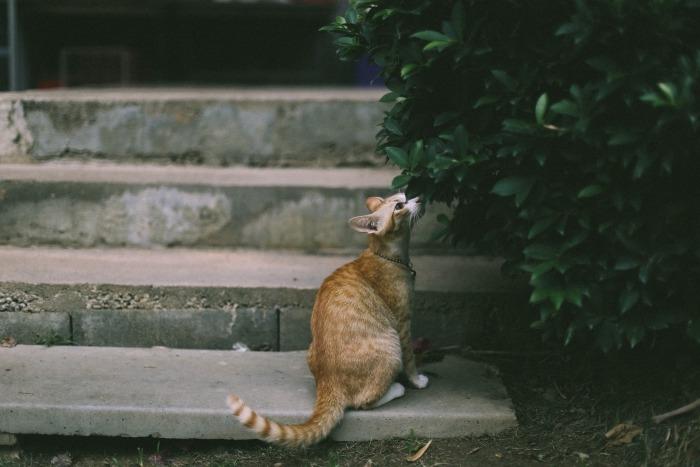 Rosse kat bij een struik