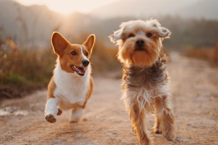 Twee honden die lopen
