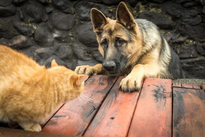 Duitse herdershond jaagt op rosse kat