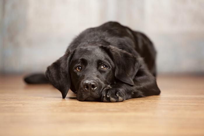 Zwarte hond ligt neer op vloer