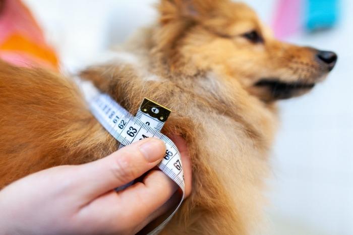Hond wordt gemeten met meetlint