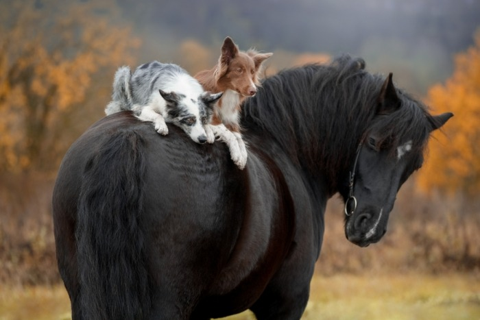 Twee herdershonden op de rug van een zwart paard