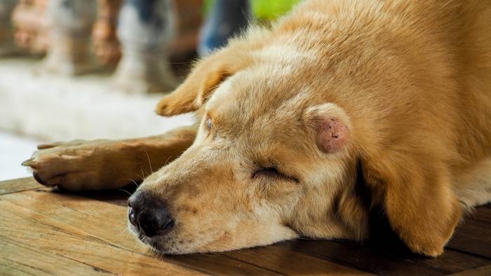 Hond met tumor ligt op de grond