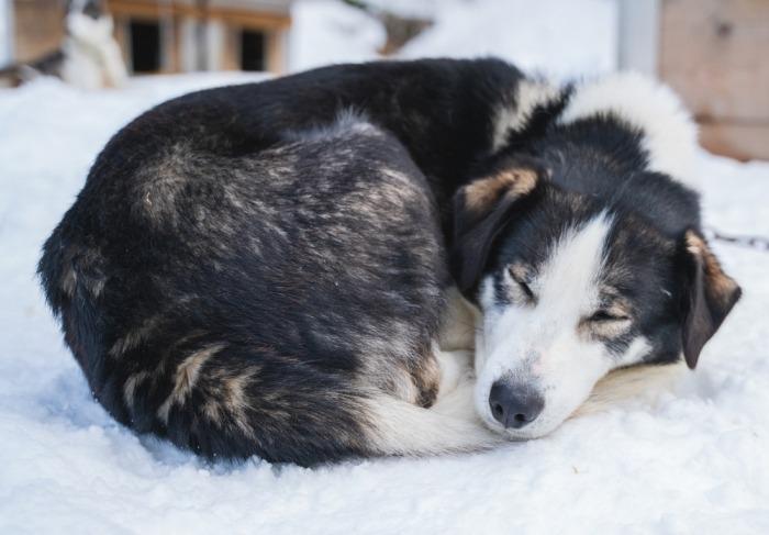 Husky slaapt opgekruld in sneeuw