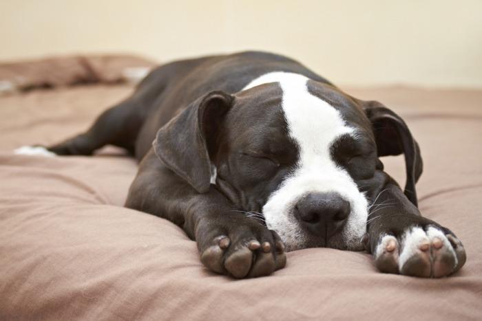 Hond slaapt uitgestrekt op buik