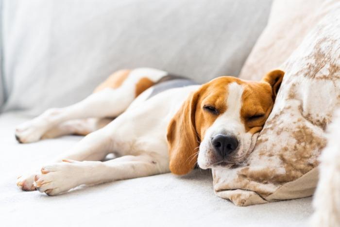 Beagle slaapt op zij in zetel