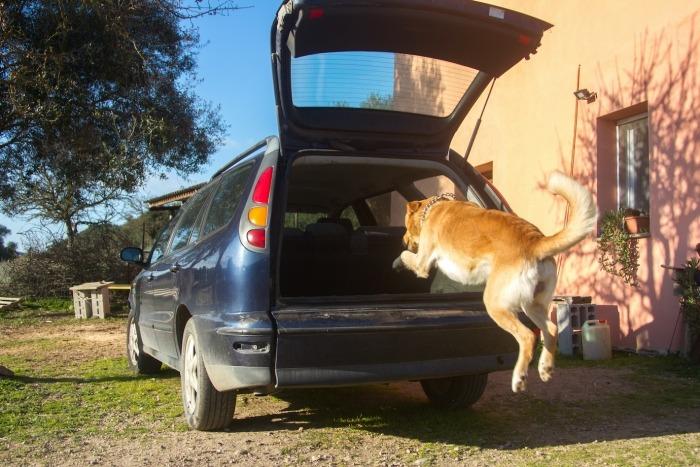 Hond springt in auto