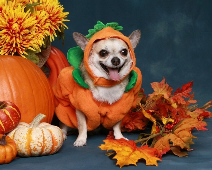 Chihuahua verkleed als pompoen