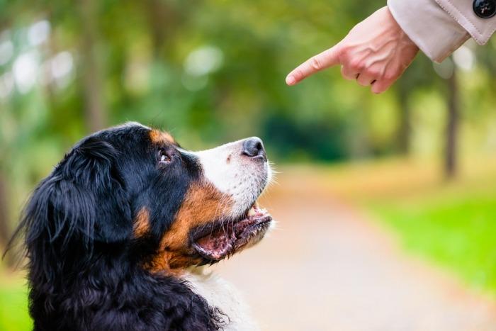 Berner sennenhond wordt gestraft met wijzende vinger
