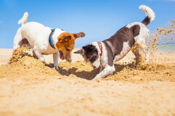 Twee honden graven een put op het strand