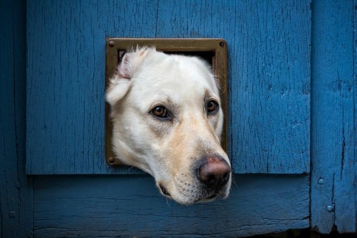 Labrador steekt hoofd door kattenluik in blauwe deur