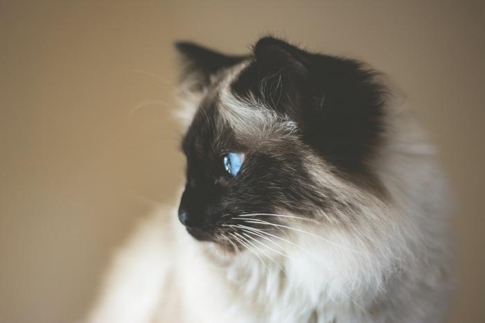 Witte kat met bruine neus en oren