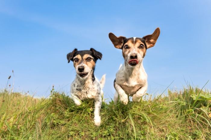 Twee jack russels rennen door het gras richting camera, oren flapperend in de wind