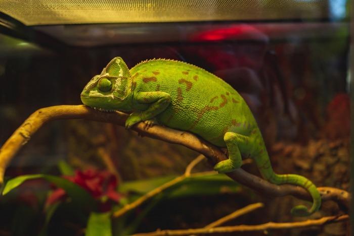 Kameleon in terrarium
