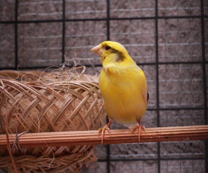kanarie bij nestje