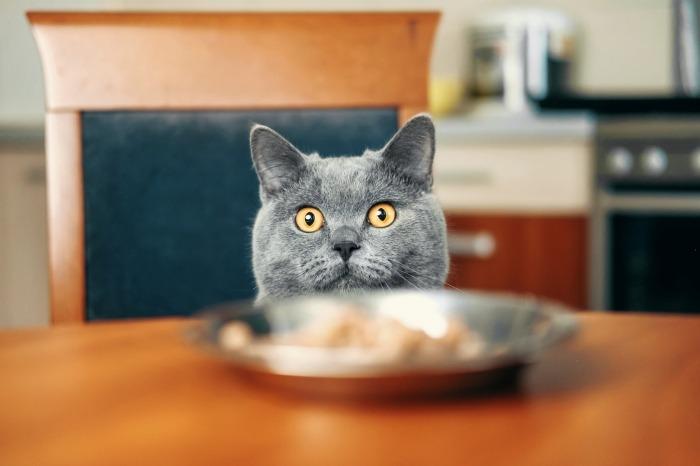 Britse korthaar kijkt naar eten op tafel