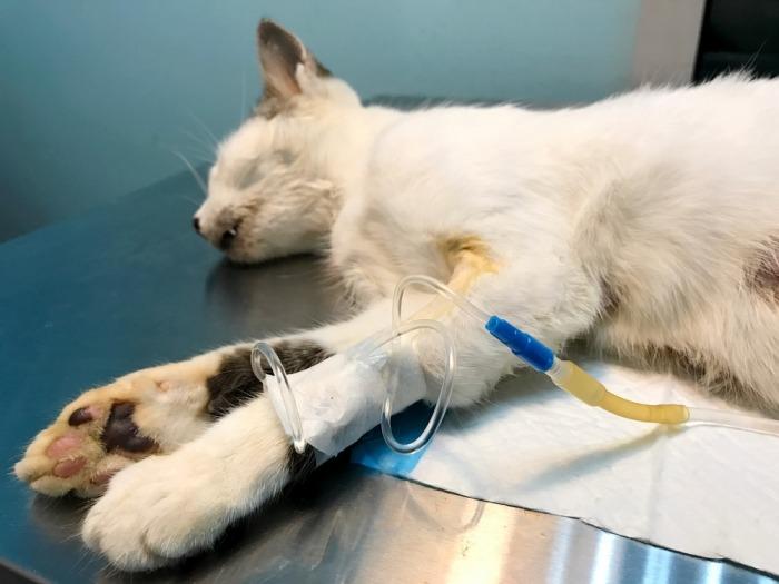 Uitgedroogde, verzwakte kat ligt aan infuus