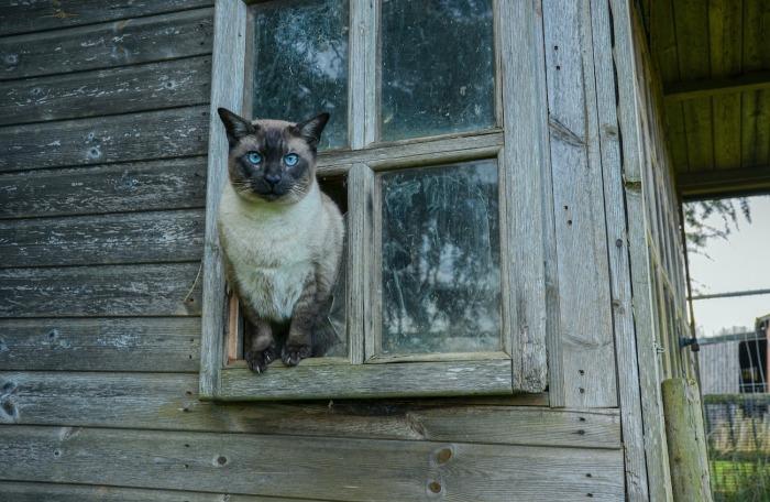 Siamese kat in tuinhuis
