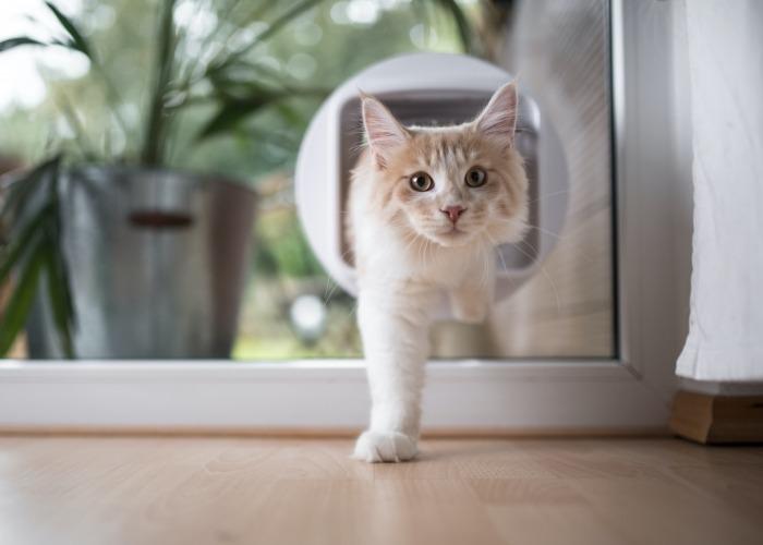 Maine Coon stapt door kattenluik in venster