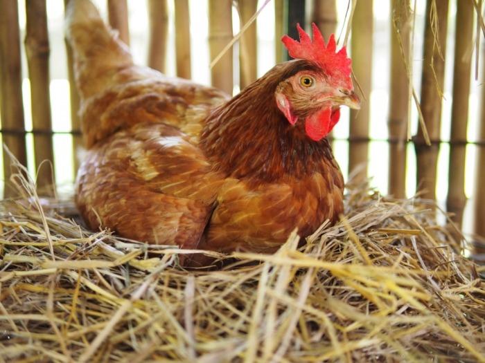 Bruine kip zit op nest van stro