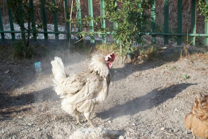 Witte kip schudt zich uit na stofbad