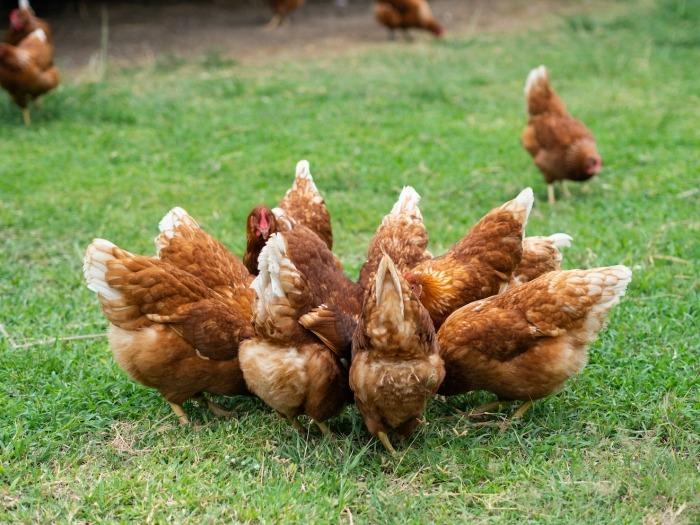 Bruine kippen in een kringetje in het gras