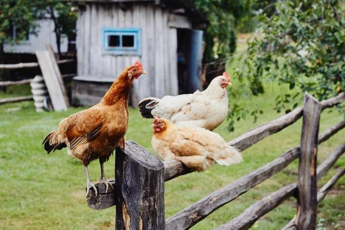 Kippen zitten op houten omheining