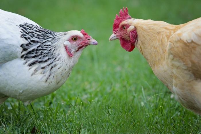 Witte en beige kip kijken elkaar aan in het gras