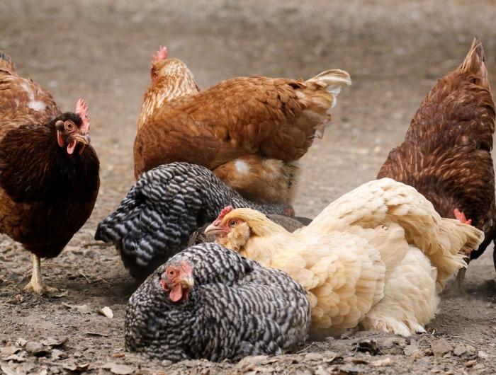 Kippen van verschillende kleuren zitten samen in stofbad