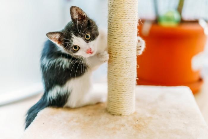 Kitten met krabpaal