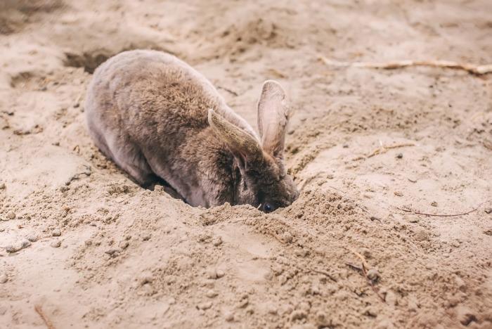 Konijn graaft in zand