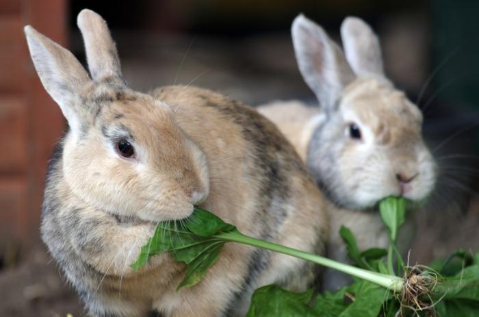 Twee konijnen eten groen blaadje
