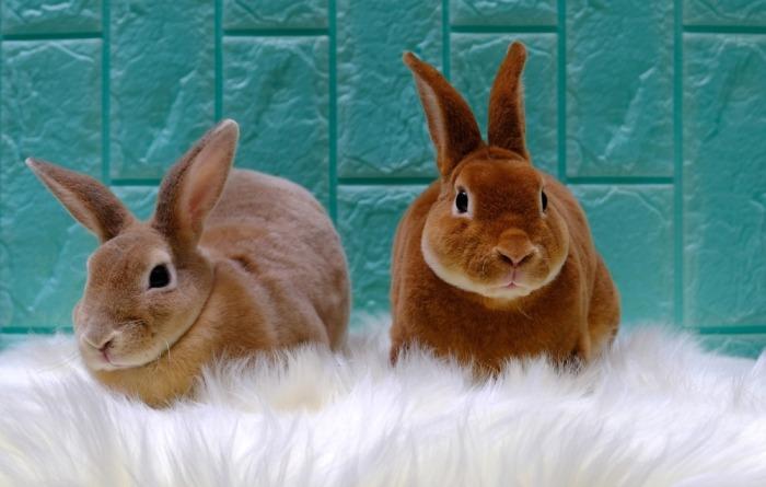 Twee Rex konijnen