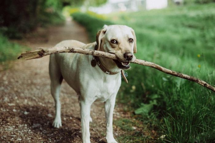 de_labrador_één_van_de_populairste_honden_ter_wereld