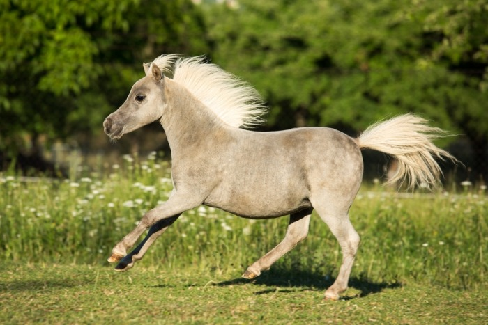 lopend miniatuurpaard