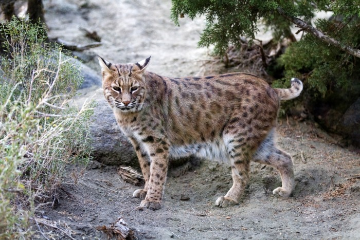 Lynx met hangbuik