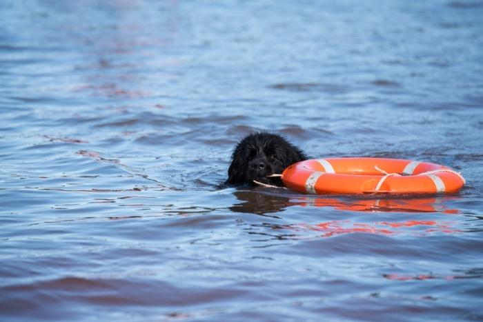 Newfy in het water met een boei. Hij wordt getraind voor de redding van drenkelingen.