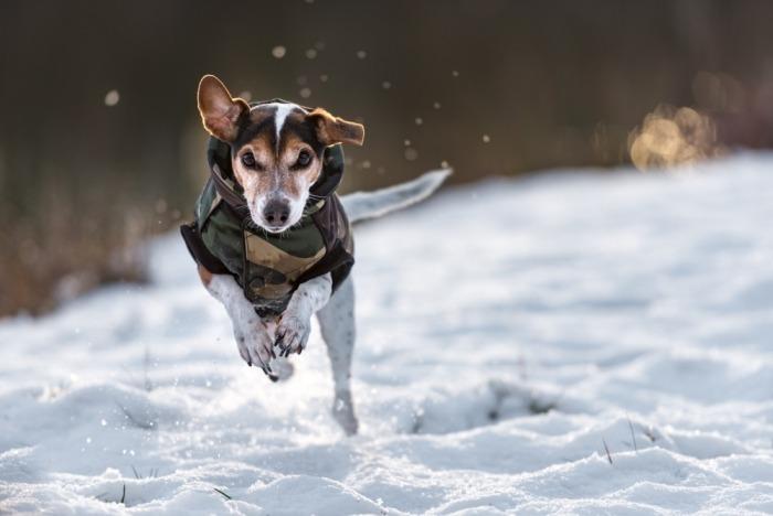 11-jaar oude jack russel met jasje in de sneeuw