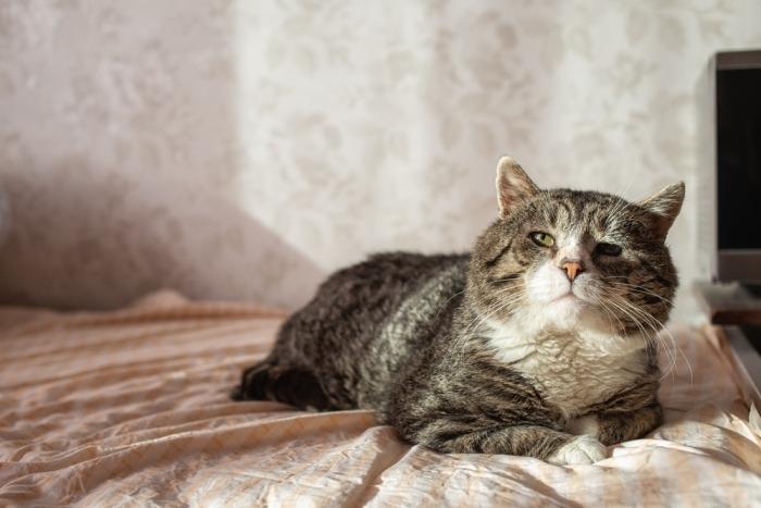 Oude kat ligt op bed